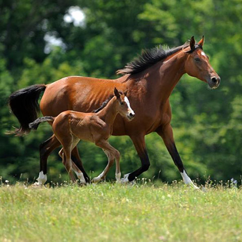 OPU/ICSI procedure for your mare